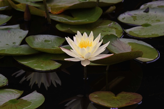 Lily Pond's nature